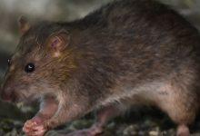 Photo of Coronavirus: por qué la pandemia está cambiando el comportamiento de las ratas (y es más probable que las veas)