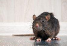 Photo of Coronavirus: por qué la pandemia está haciendo que las ratas tengan un comportamiento más agresivo