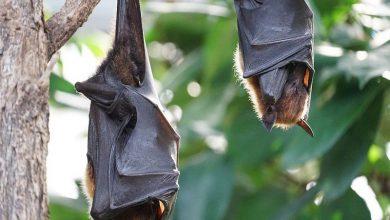 Photo of Científicos detectan cientos de nuevos coronavirus en murciélagos en China