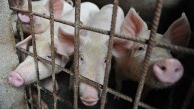 Photo of Gripe porcina en China | Alerta sin alarma: qué hacer frente al virus con «potencial pandémico» detectado en el país asiático