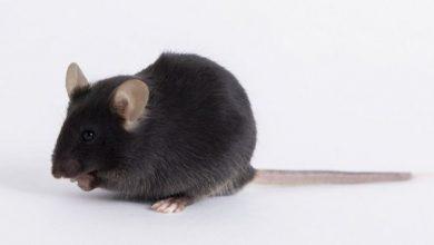 Photo of Vacuna contra el covid-19: cómo unos ratones modificados genéticamente se volvieron objeto de una disputa mundial