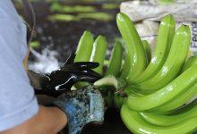 Photo of MAG anuncia cuatro medidas inmediatas para atender el sector bananero