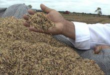 Photo of Ecuador exportará más de 50 mil toneladas de arroz a Colombia
