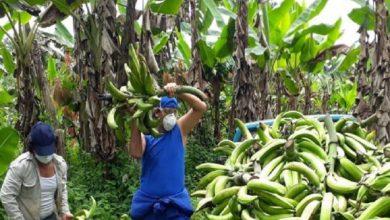 Photo of Ministerio de Agricultura anuncia la creación de un fideicomiso para subsidiar tasas de interés del sector agrícola