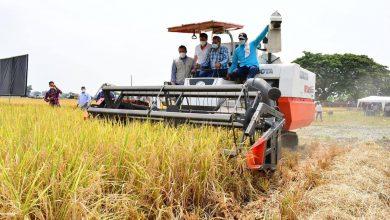Photo of Iniap lanzó Élite e Impacto, dos nuevas variedades de arroz resistentes a plagas y enfermedades