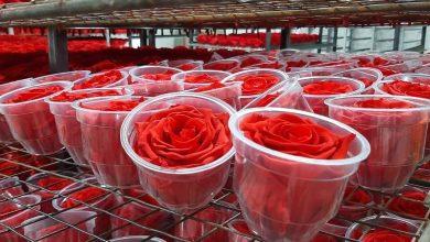 Photo of Grupo español comercializará rosas ecuatorianas en la UE