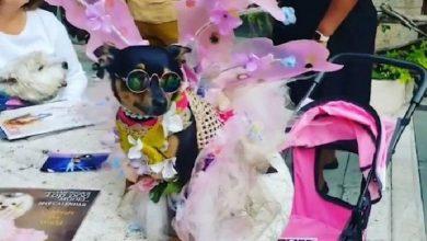 Photo of Conoce al chihuahua que pasó de mendigo a millonario